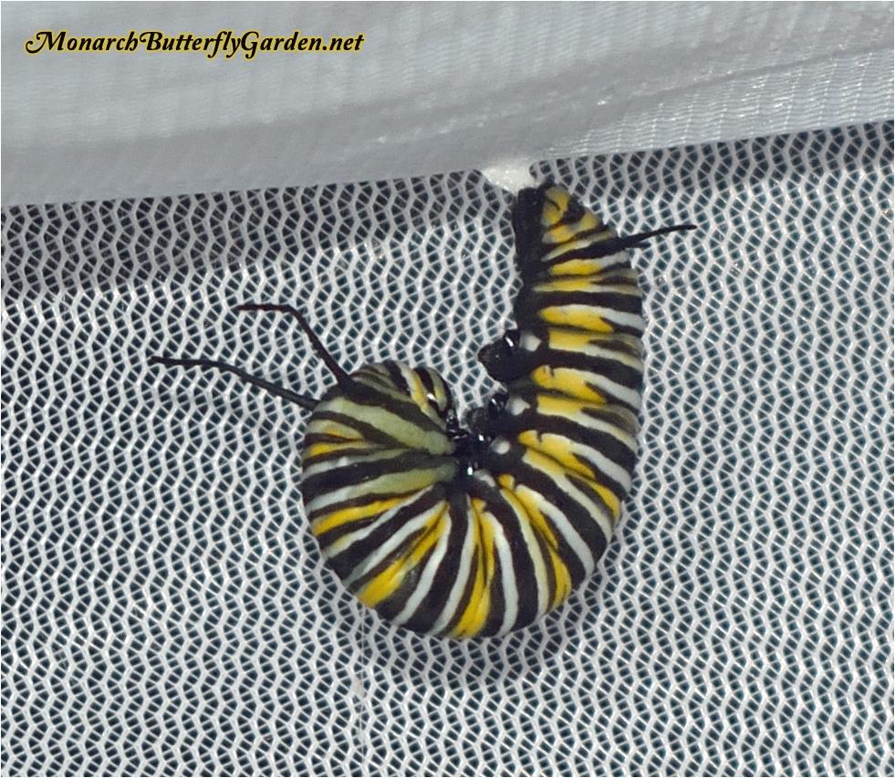 monarch caterpillar healthy development pre chrysalis