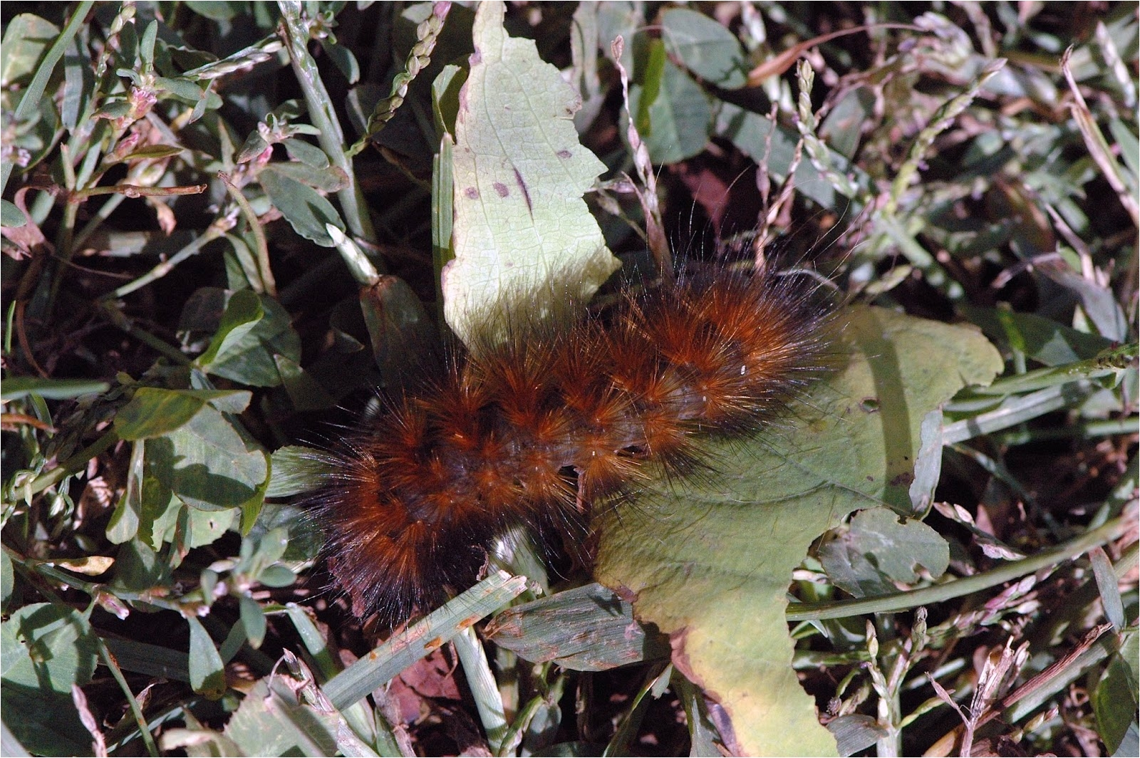 one of the caterpillars i found was spilosoma virginica this species is rusty orange colored often with interspersed black hairs