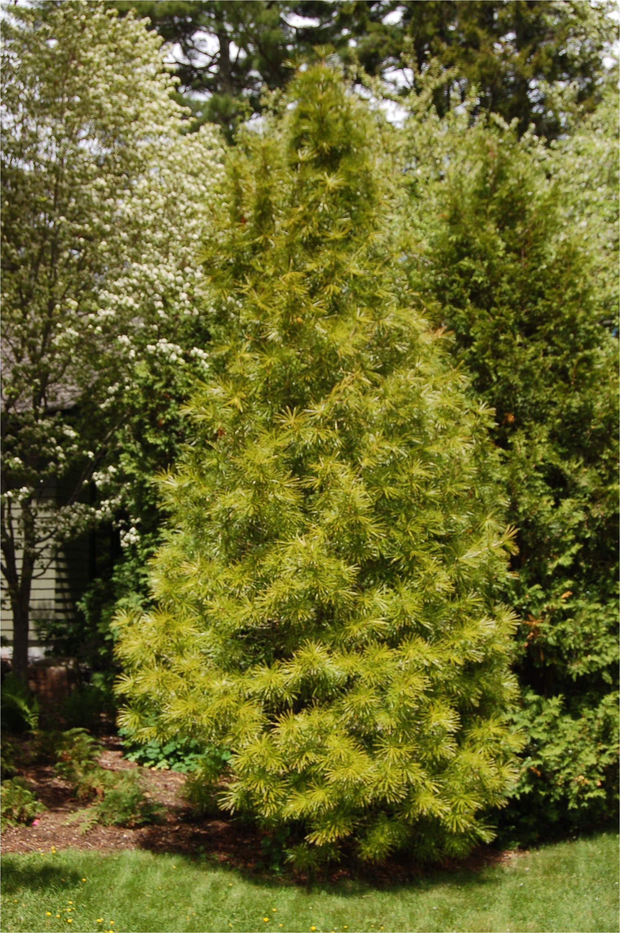Decorative Pine Trees For Landscaping Japanese Umbrella Pine