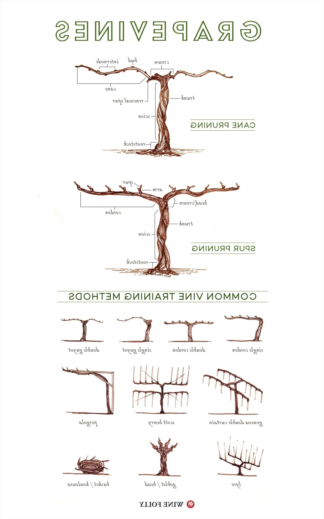 illustrated grape vine training methods