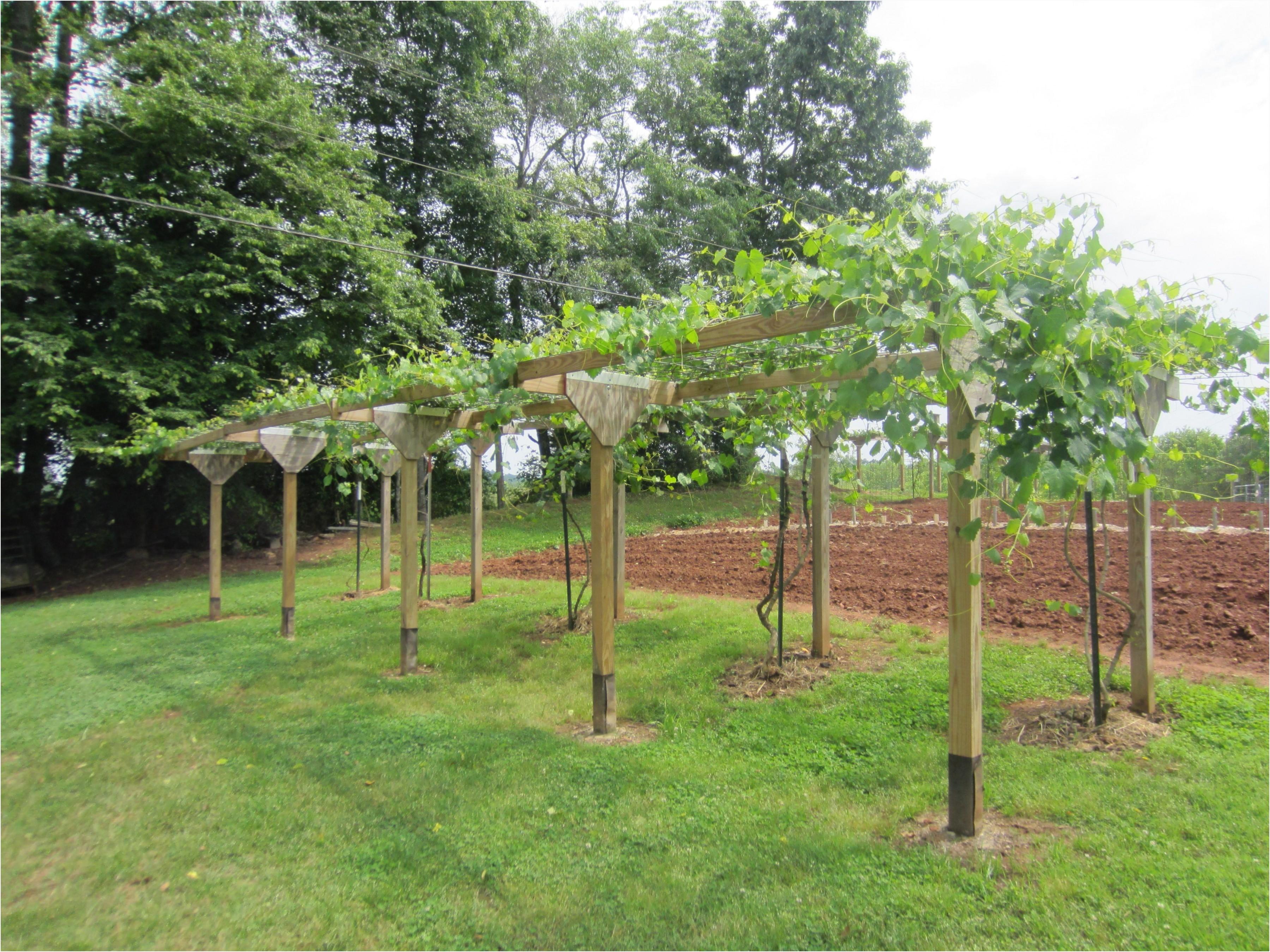 muscadine type grape arbor plete with spigots at each vine each