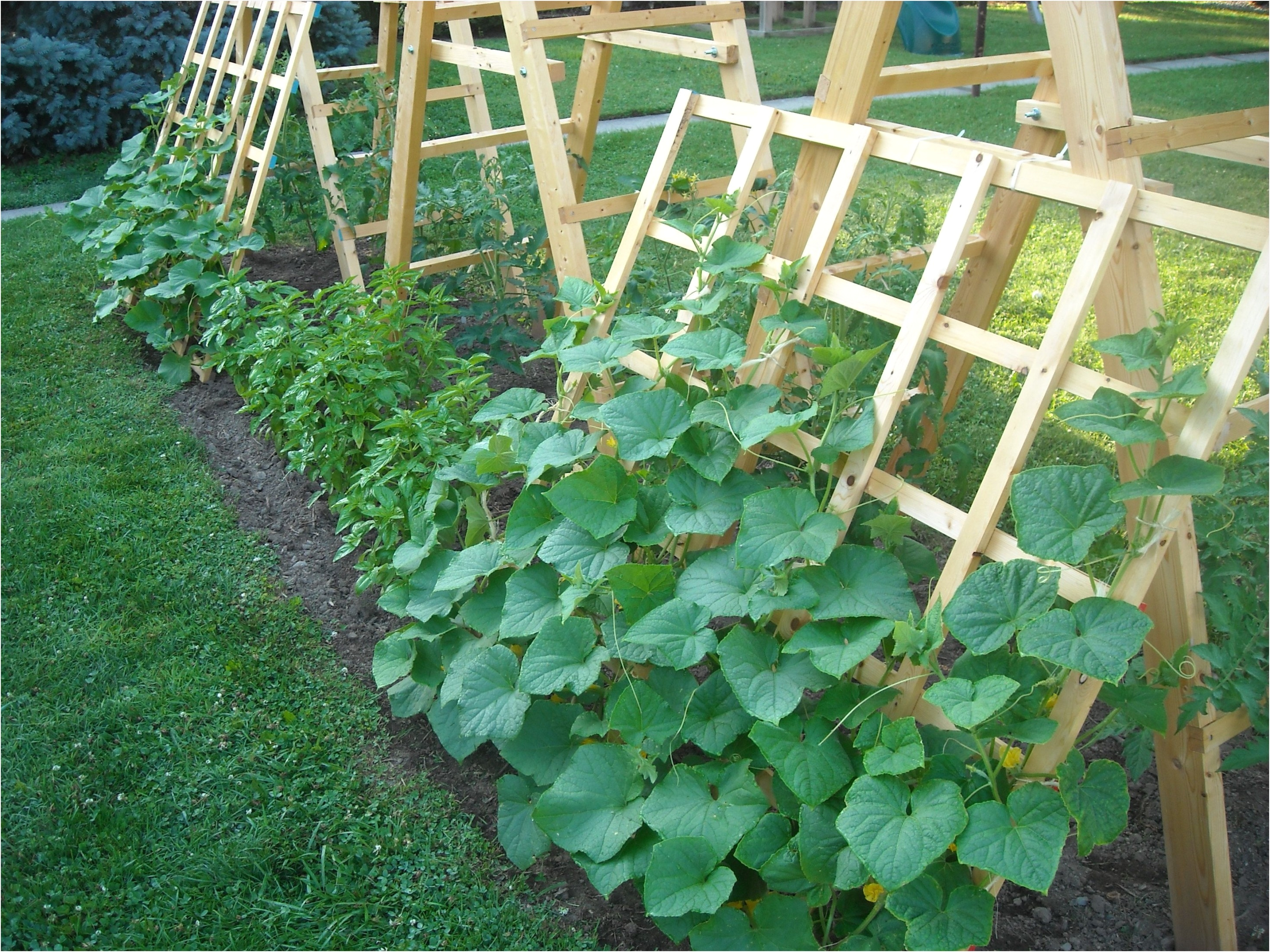 tomato ladder and cucumber trellis