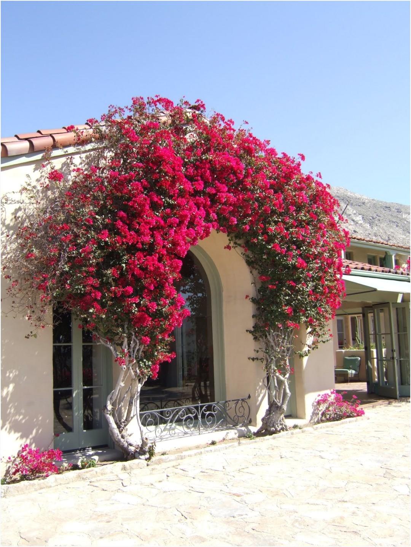 bougainvillea trellis ideas elegant bouganvilla arch i wish i could do this in my backyard i would