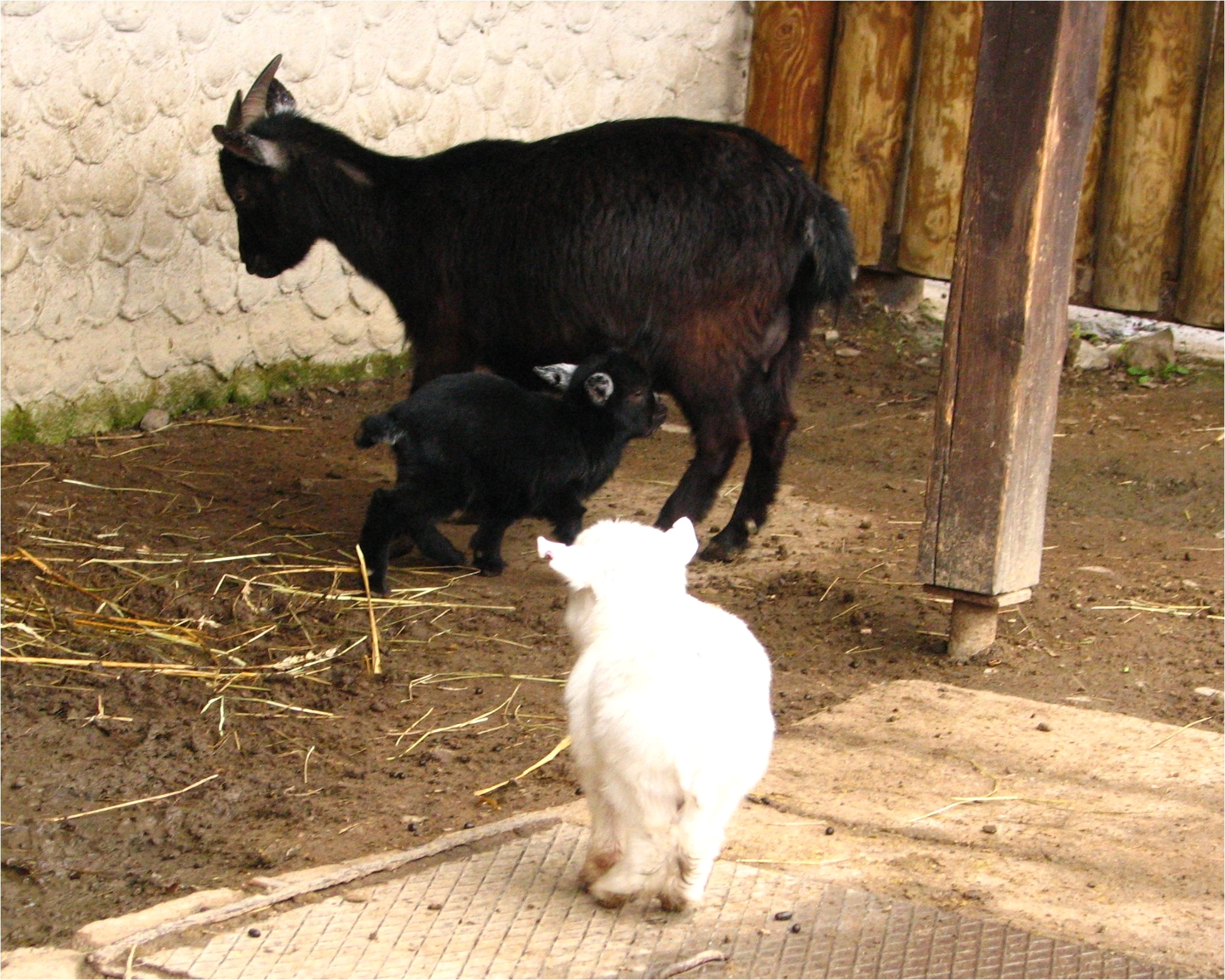 pygmy goat 03 zoo dvur kralove jpg