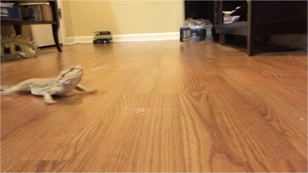Laminate Flooring for Bearded Dragon Funny Bearded Dragon Running On Wood Floor Youtube