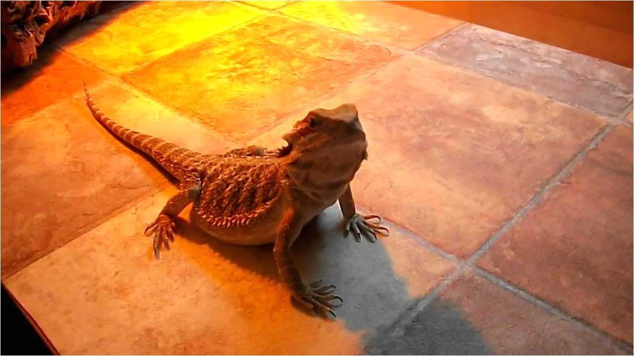 Laminate Flooring for Bearded Dragon My Bearded Dragons New Flooring Youtube