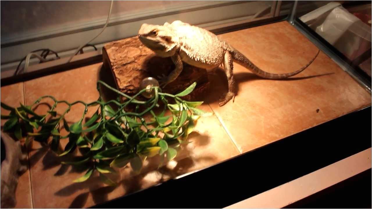 Slate Tile Flooring for Bearded Dragon Using Tile In Reptile Cages Youtube
