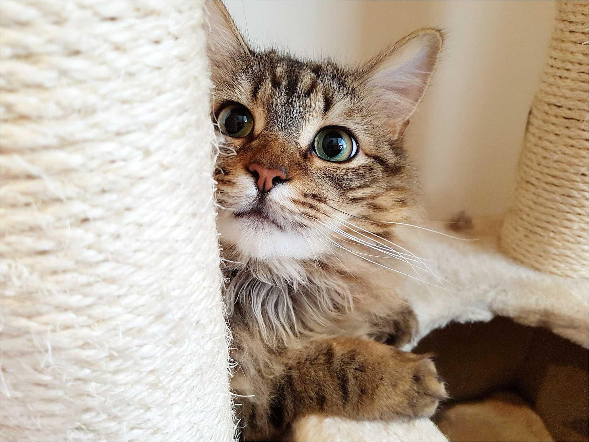 a fluffy cat behind the scratching post 674506878 5b047815ba61770036c4e1fc