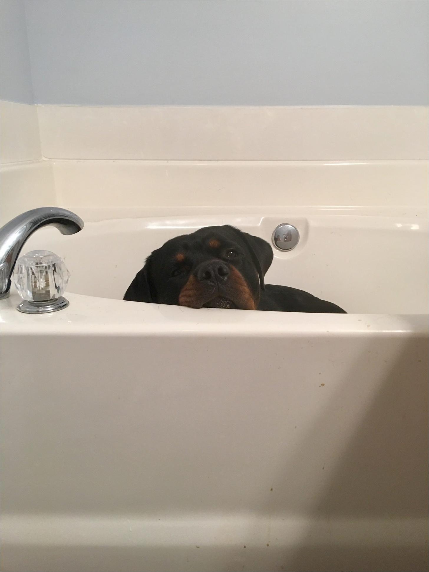 dogs in the bathtub new banks the bathtub rottweiler rotti lyfe pinterest