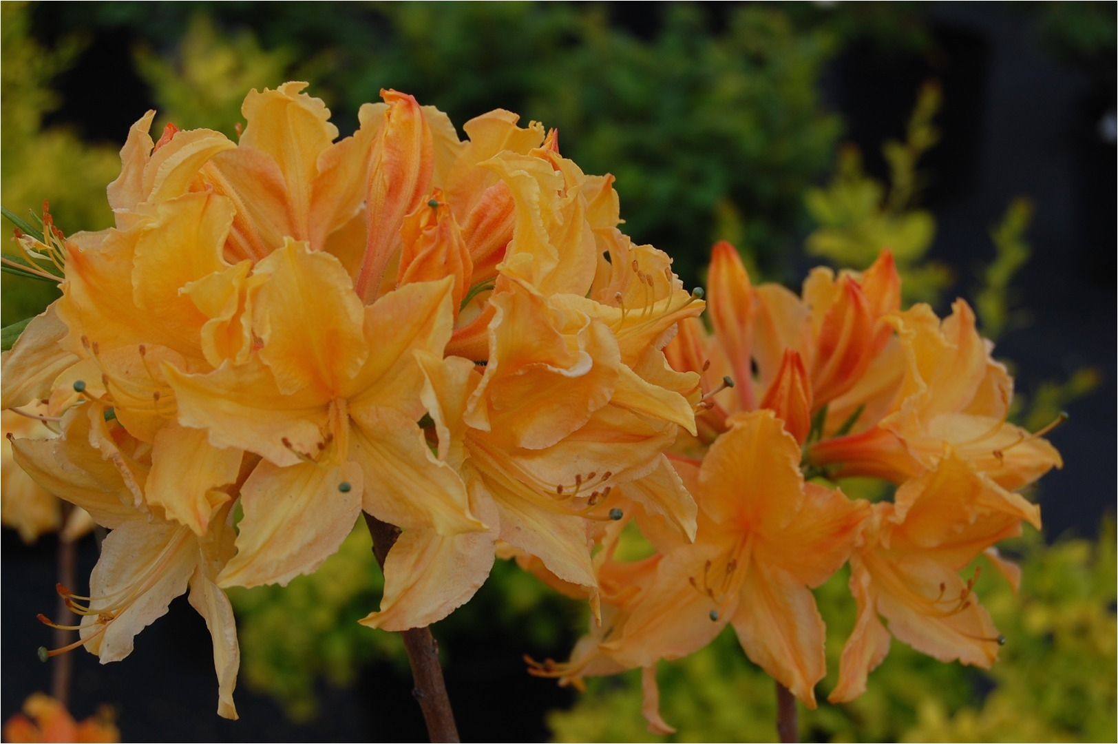 azalea rhododendron golden lights
