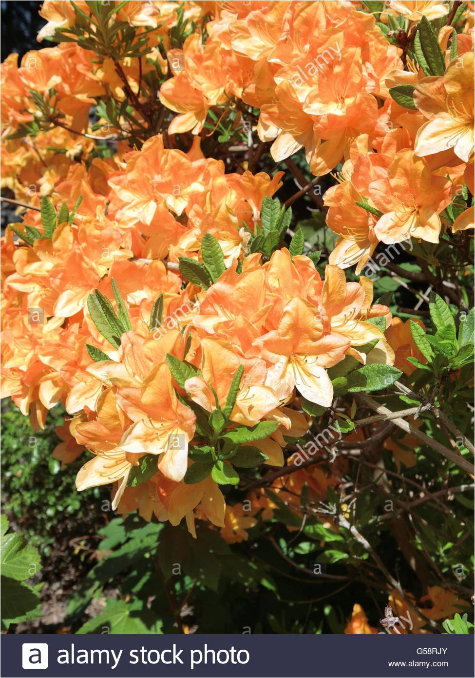 deciduous azalea golden lights in flower stock image