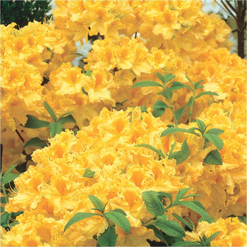 pot golden lights azalea rhododendron live deciduous