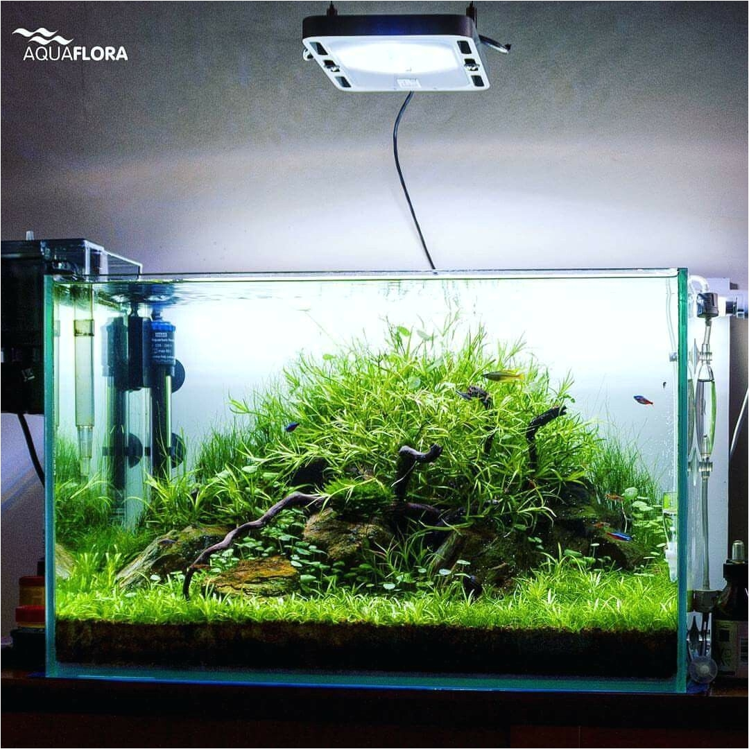 60l planted aquarium by filipe powered by aquaflora plants plants used in this layout