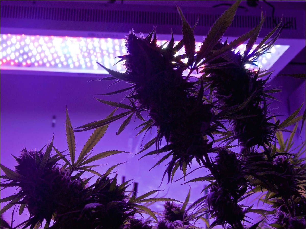 growing marijuana under led grow lights requires a special fertilizer hydroponics nutrients program
