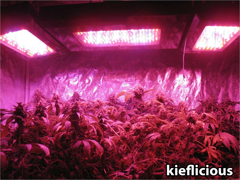 blackstar led grow lights kieflicious