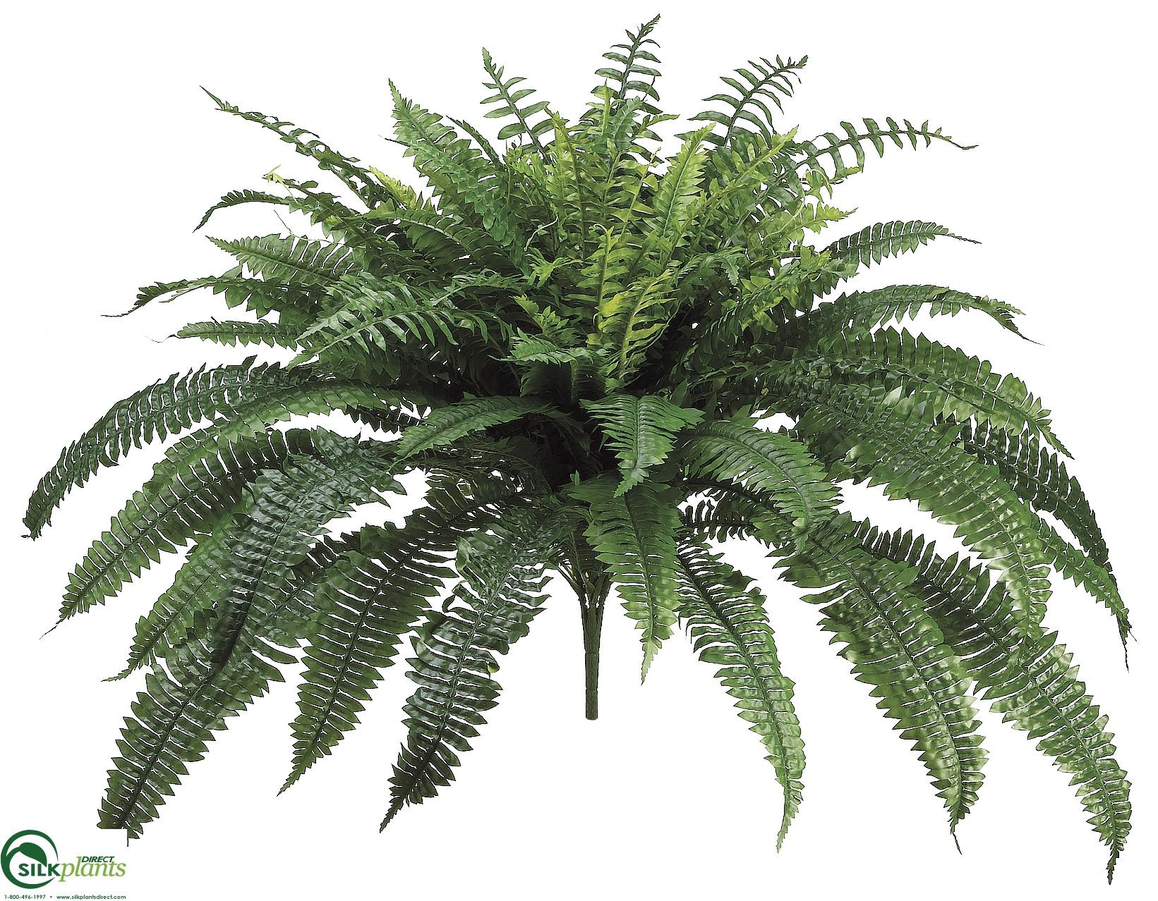 boston fern bush pack of 2