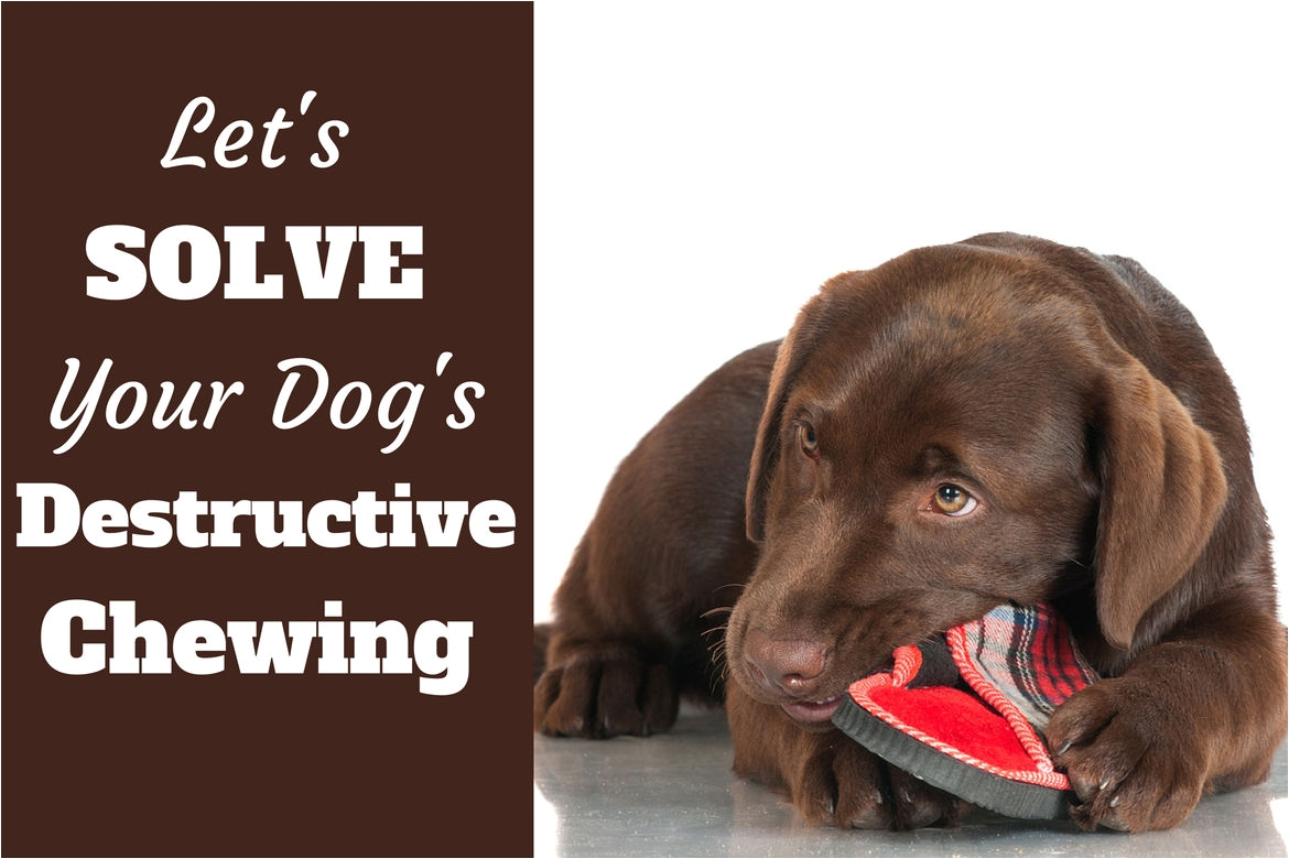 stop destructive chewing written beside a choc lab pupy chewing a slipper on white bg