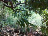 Aguinaga forest Floor Mulch Sajavat A Homestay within A Mango orchard Mango Mulch
