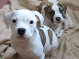 Baby Bath Tub Olx Tags American Bulldog Puppies American Bulldog Puppy
