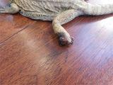 Baby Bearded Dragon Flooring Amputation or Euthanization Foot Emergency Bearded Dragon org