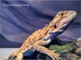 Baby Bearded Dragon Flooring Bearded Dragons How to Set Up A Juvenile Bearded Dragon Tub Youtube