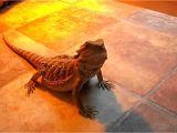 Baby Bearded Dragon Flooring My Bearded Dragons New Flooring Youtube