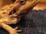 Best Bearded Dragon Flooring 5 Month Beardie with Vitamin A Od New Symptoms Bearded Dragon org