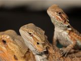 Best Bearded Dragon Flooring Best Bearded Dragon Bedding Review Petclub24