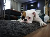 Best Type Of Rugs for Dogs How to Get Rid Of Dog Odor In Your Carpet Servicemaster Clean