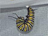Black and Rust Fuzzy Caterpillar 10 Common Monarch Diseases Parasites Caterpillar Killers