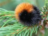 Black and Rust Fuzzy Caterpillar Can Woolly Worms Predict the Weather Wonderopolis