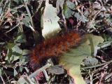 Black and Rust Fuzzy Caterpillar Field Biology In southeastern Ohio October 2013