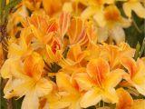 Golden Lights Azalea Golden Flare Azalea Monrovia Golden Flare Azalea