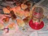 Tractor Supply Red Heat Lamp Reader Questions Heat Lamps and Baby Chicks Community Chickens