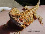 Vinyl Flooring for Bearded Dragon Bearded Dragon Faq How to Keep Your Pet Lizard Healthy